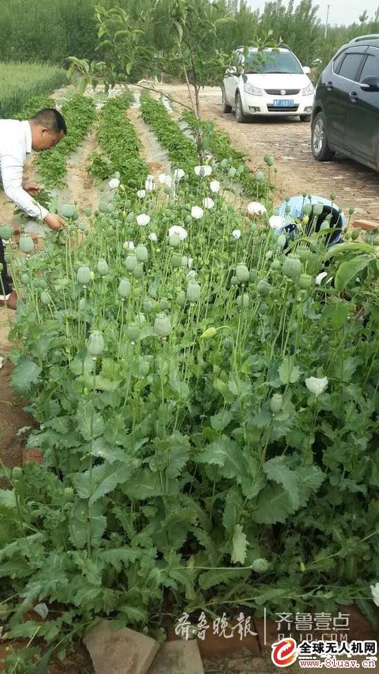 无人机助力聊城公安根除罂粟原植物600余株!