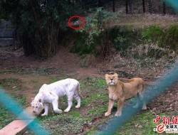 重庆发生老虎袭击无人机事件