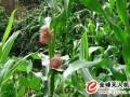怎样在玉米授粉期用无人机进行病虫害防治?