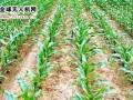 植保知识|玉米除草知多少?