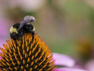 比无人机更持久!蜜蜂背起感测器出任务 替科学